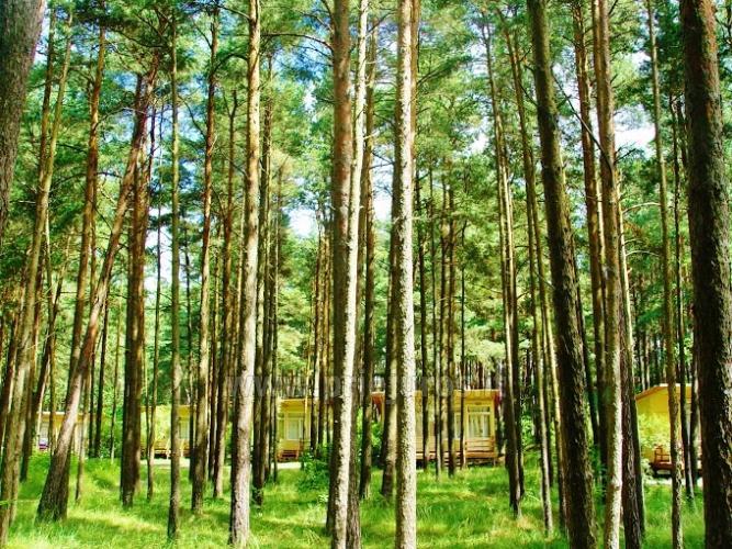 Domy drewniane w lesie sosnowym, w pobliżu kościoła w Sventoji - 1