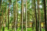 Domy drewniane w lesie sosnowym, w pobliżu kościoła w Sventoji