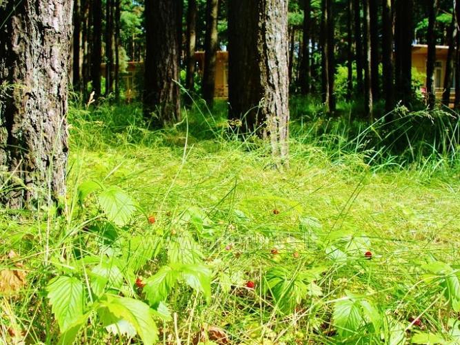 Domy drewniane w lesie sosnowym, w pobliżu kościoła w Sventoji - 3