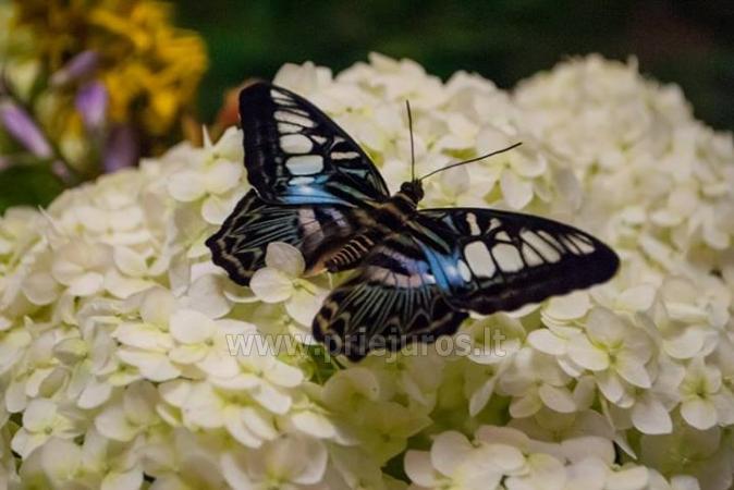 Wystawa żywych tropikalnych motyli - 2