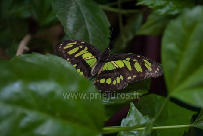 Wystawa żywych tropikalnych motyli - 3